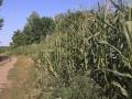 Кукуруза - конец июля+